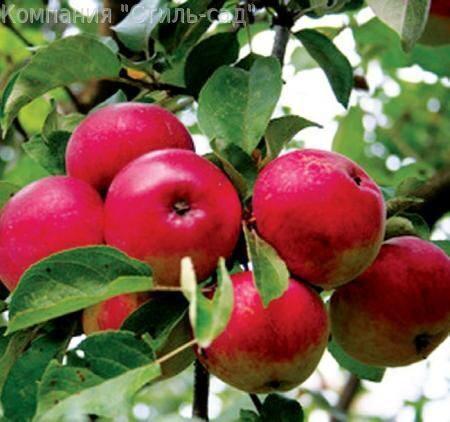 Эверест яблоня айдаред яблоня
