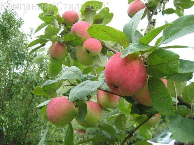 Яблоня мантет яблоня мельба яблоня