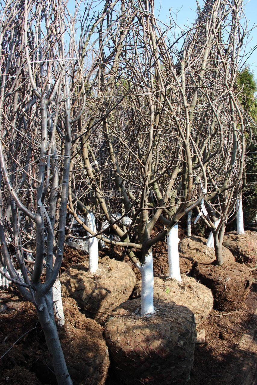 Когда лучше сажать яблони - весной или осенью